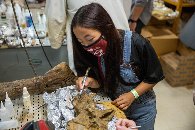 Female student in overalls and a black shirt with a Southwestern Adventist University mask examines dinosaur bone